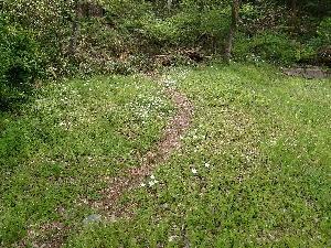 イチリンソウが草むらの中に群生しています
