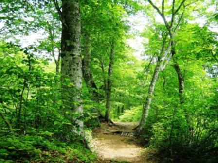 奥裾花のブナの原生林